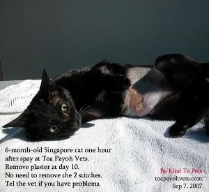 Spay cat. Toa Payoh Vets, Singapore, street cat.