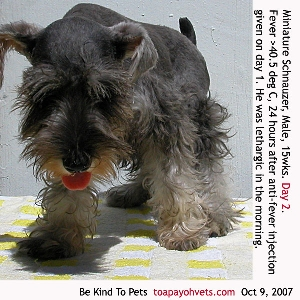 High fever on 3rd day. 15-week-old Miniature Schnauzer. Toa Payoh Vets