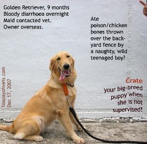 Golden Retriever, bloody gastroenteritis. Toa Payoh Vets