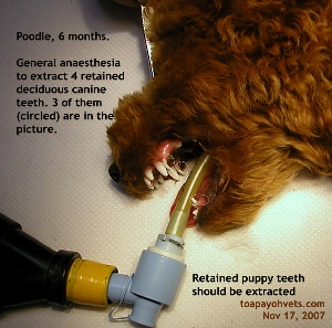 Four puppy teeth (retained deciduous canine) in Poodle, 6 months, anaesthesia. Toa Payoh Vets