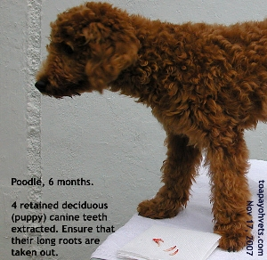 Four puppy teeth (retained deciduous canine) in Poodle, 6 months, extracted. Toa Payoh Vets