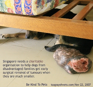 Massive tumour. Singapore Dog. Toa Payoh Vets