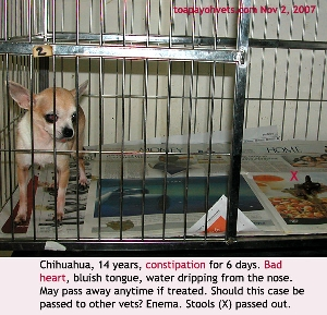 Insufficient fibre in diet. Fed chicken past 5 days. Constipation. Old Chihuahua with a bad heart. Toa Payoh Vets