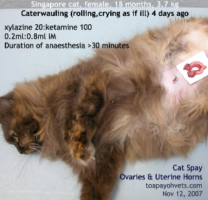 Caterwauling (rolling, crying loudly) can be mistaken as the cat being sick. Toa Payoh Vets
