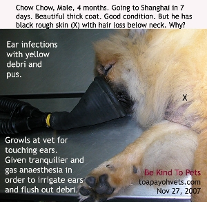 Chow Chow 4 months, Male, yellow debri in both ears. Hyperpigmented neck skin. Toa Payoh Vets