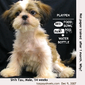 Shih Tzu, 14 weeks. Not paper-trained after 30 days. Toa Payoh Vets