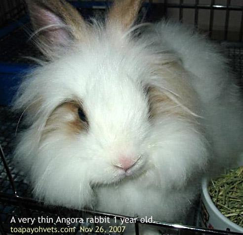Angora rabbit is not eating.Why? toapayohvets, singapore