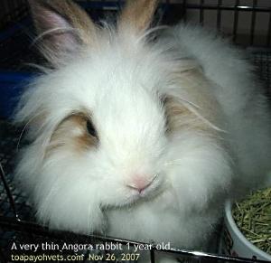 Singapore Angora rabbit. Anorexia. Toa Payoh Vets