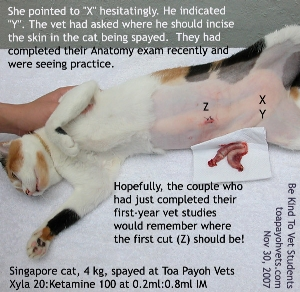 Cat Spay incision starts 1.5 cm from umbilical scar. Incise 1 cm. Hook. Toa Payoh Vets.