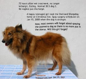 Sheltie_open_pyometra_3days_vet_treatment_eating_now_ToaPayohVets