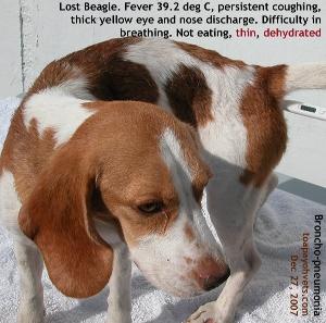Abandoned/lost Beagle.Acute broncho-pneumonia. Toa Payoh Vets
