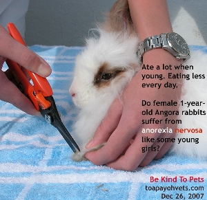 Angora 1 year old, eating less every day. Toa Payoh Vets