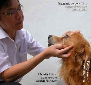 Golden Retriever_acute_conjunctivitis_left_eye_ToaPayohVets