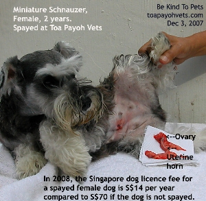 Saving money on dog licence fee is one reason for spaying your dog. Toa Payoh Vets