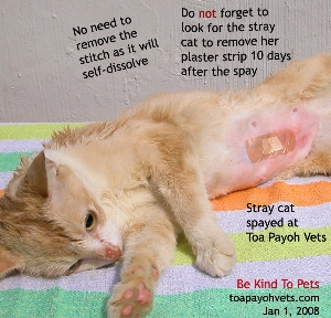 Spay stray cats - caregiver must remove the plaster strip in day 10.  Toa Payoh Vets