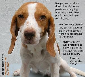 Lost/abandoned Beagle. Bronchopneumonia. Singapore. Toa Payoh Vets.