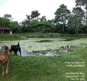NANAS' dogs are free to roam and swim in a hot Sunday afternoon. Toa Payoh Vets