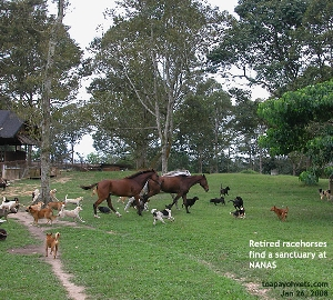 NANAS for retired racehorses. Toa Payoh Vets
