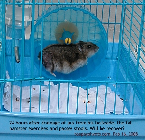 Singapore, fat hamster passes stools, eats, exercise after surgery! Perineal tumour and abscess. Toa Payoh Vets
