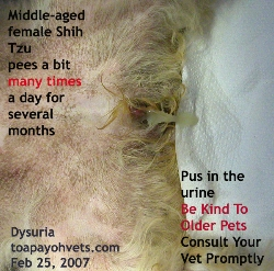Shih Tzu, Female, 7 years. Large bladder stone. Toa Payoh Vets