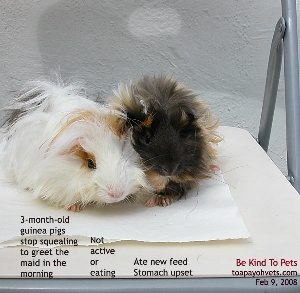 3-month-old Guinea Pigs ate new feed. Gastroenteritis, fever. Toa Payoh Vets