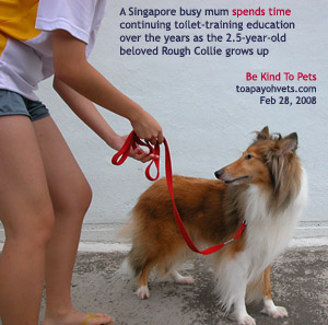 Well cared for Rough Collie, 2.5 years, Singapore. Toa Payoh Vets