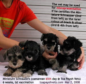 Miniature Schnauzers, 6 weeks, first vaccination. Toa Payoh Vets