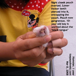 """Hamster with black """"tongue"""". Everted cheek pouch entrapped in incisors. Toa Payoh Vets"""