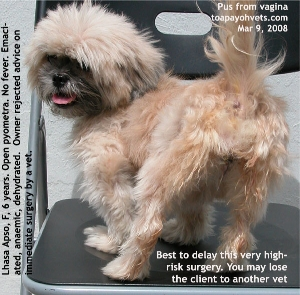 Open pyometra, emaciated, anaemic, dehydrated Lhasa Apso. Toa Payoh Vets