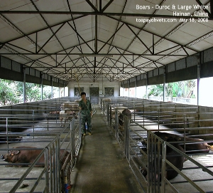 Hainan boars, China, Toa Payoh Vets