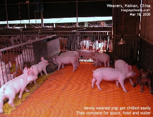 Two Large White Weaners bullying Duroc?  Hainan Pig Farm, China. Toa Payoh Vets