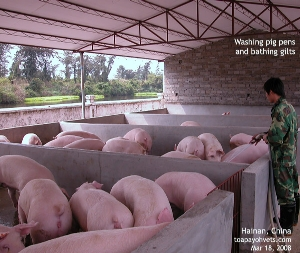 Gilts, Hainan, China pig farming. Toa Payoh Vets