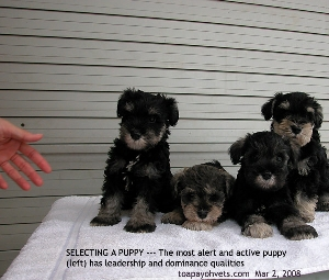 Puppy Selection. Most active, alert and mildly aggressive is the best for you? Toa Payoh Vets
