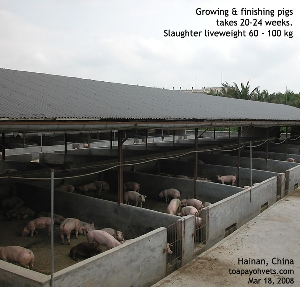 Growing and finishing pigs. Hainan, China. Toa Payoh Vets
