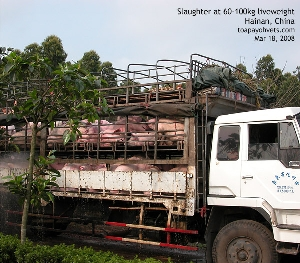 Pigs transport to slaughterhouse. Hainan, China. Toa Payoh Vets