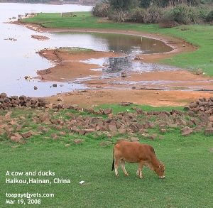 Haikou, Hainan, China. A Cow and ducks in a small farm by the river. Toa Payoh Vets