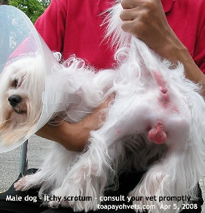 Maltese. Scrotum inflamed. Red. Toa Payoh Vets.