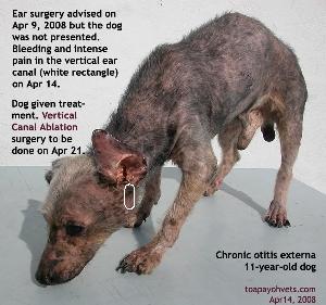 Chronic otitis externa, hardened vertical canal, left ear.Old dog. Toa Payoh Vets