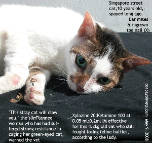 Ingrown dew claw, ear mites. Street Cat, Singapore. Toa Payoh Vets