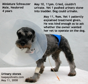 Miniature Schnauzer.Urethral obstruction. Vet 1 had pushed stone back into the bladder. Toa Payoh Vets