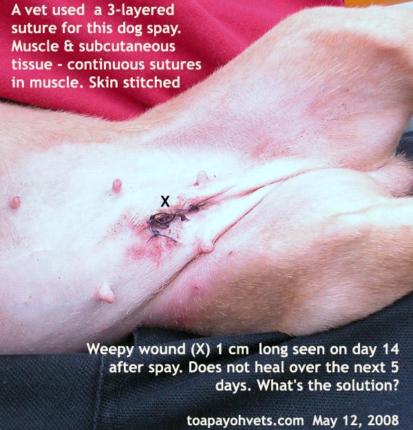 Dog Spay Sutures Healing