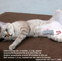 Singapore Caterwauling cat spayed 6 months. Toa Payoh Vets