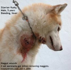 Siberian Husky. Maggots. Dog bite or choke chain? Toa Payoh Vets