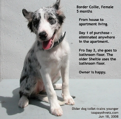 Bathroom-toilet trained by the older Sheltie. Border Collie pup. Toa Payoh Vets