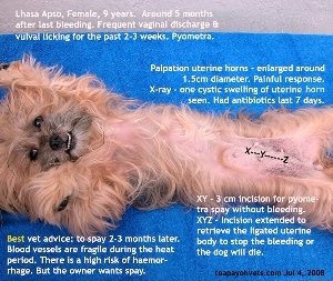 Before spay. Lhasa Apso. Pyometra and proestrus now. Toa Payoh Vets