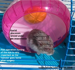 Hamster,>1 year old. Right eyelid abscesses lanced. Toa Payoh Vets