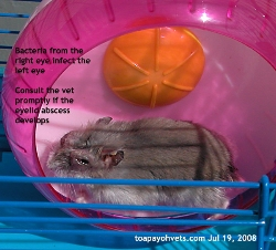 Hamster,>1 year old. Bacterial Conjunctivitis. Toa Payoh Vets