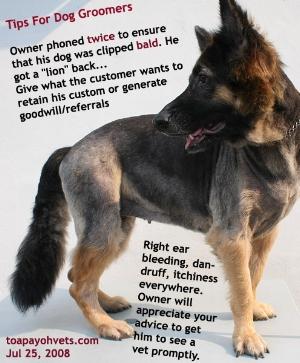 Generalised dermatitis, chronic otitis externa (right ear). German Shepherd. Toa Payoh Vets.