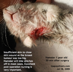 Hamster 1 year. Breast/skin tumour to be removed when they are very small. Toa Payoh Vets