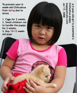 A 6-week-old chihuahua dies easily if not well managed. Toa Payoh Vets